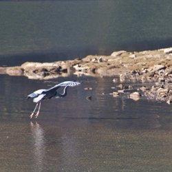 Heron near McLean Point